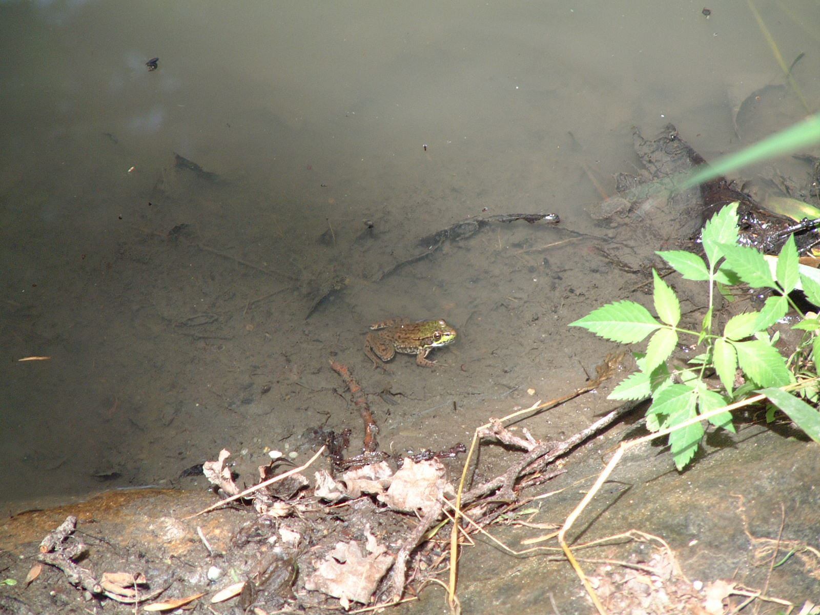 A frog sits in the water near the shore of the lake